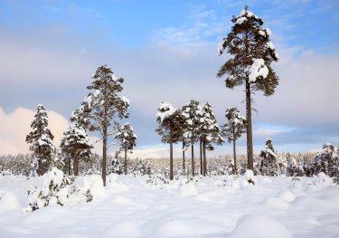 Alistair Petrie - Seasons - Winter Pines